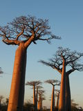 Baobab trees Stock Photo