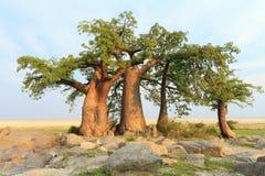 Baobab Trees. A group of Baobab trees on Khubu Island, Botswana Stock Photos