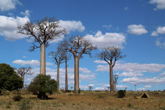 Baobab trees. Group of baobab trees whit cloudscape madagascar Stock Images