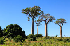 Baobab trees in an African landscape with clear blue sky Stock Photo
