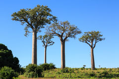 Baobab trees in an African landscape with clear blue sky Stock Photography
