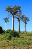 Baobab trees in an African landscape with clear blue sky Stock Photos