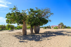 Baobab trees in an African landscape with clear blue sky in a vi Stock Image