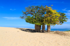 Baobab trees in an African landscape with the sea in the backgro Stock Image