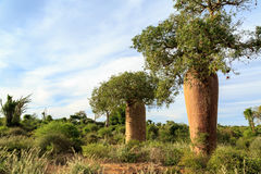 Baobab trees in an African landscape royalty free stock photography