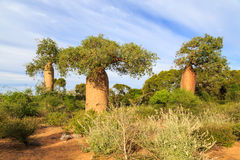 Baobab trees in an African landscape stock photo