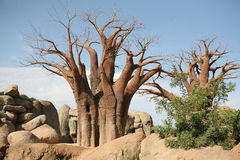Baobab trees in Biopark Stock Photo