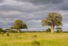 Baobab trees with cloudy sky. Baobab trees in Tarangire national Park. The sky is cloudy Stock Image