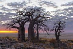 Baobab trees and colours of sunrise Stock Image