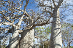 Baobab Trees in Kenya Stock Photography