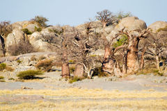 Baobab Trees at Kubu Island. In Botswana Stock Images