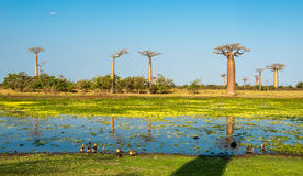 Baobab trees with lake near Morondava Royalty Free Stock Photos