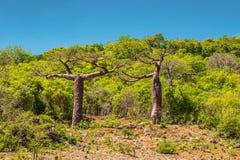 Baobab trees in Madagascar. Royalty Free Stock Photos