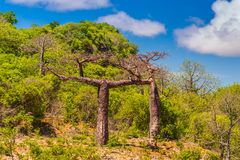 Baobab trees in Madagascar. Royalty Free Stock Photography