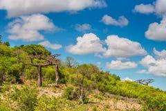 Baobab trees in Madagascar. Royalty Free Stock Image