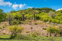 Baobab trees in Madagascar Royalty Free Stock Photos