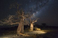 Baobab trees and the milky way Stock Image