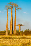 Baobab trees. MORONDAVA,MADAGASCAR - AUGUST 01,2015 - Baobab trees.Adansonia grandidieri, sometimes known as Grandidiers baobab, is the biggest and most famous Stock Photo