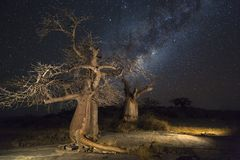 Baobab trees at night. At Kubu Island Botswana Royalty Free Stock Photo