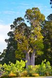 Baobab trees in Perth Royalty Free Stock Photo