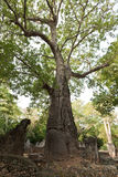 Baobab trees in Ruins of Gedi Stock Image