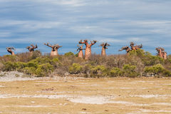 Baobab trees and savanna Royalty Free Stock Photo