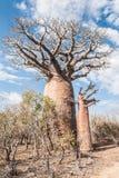 Baobab trees and savanna Stock Photography