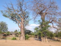 Baobab Trees Royalty Free Stock Photos