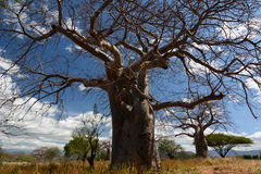 Baobab valley, Great Ruaha River. Tanzania Royalty Free Stock Photography