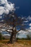 Baobab valley, Great Ruaha River. Tanzania royalty free stock photos