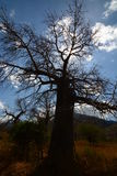 Baobab valley, Great Ruaha River. Tanzania Royalty Free Stock Photos