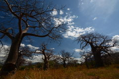 Baobab valley, Great Ruaha River. Tanzania Stock Image