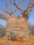Baobab velho grande fotos de stock