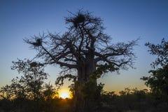 Baobab w Kruger parku narodowym, Południowa Afryka Zdjęcia Royalty Free