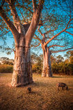 Baobab and warthog Royalty Free Stock Photos