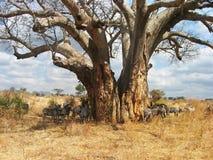 Baobab y cebras Imagen de archivo libre de regalías