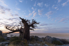 Baobab y nubes grandes después de la puesta del sol Foto de archivo libre de regalías