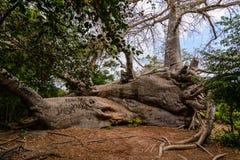 Baobab Zanzibar Fotografia Stock