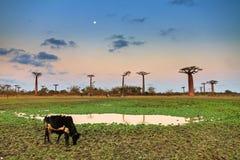 Baobab Zebu sunset moon Royalty Free Stock Images