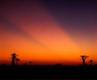 Baobabaveny - Madagascar Arkivbilder