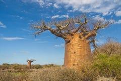 Baobabbäume Stockfotografie