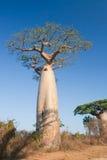 Baobabbäume Stockfotos