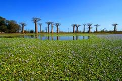 Baobabbäume Stockfoto