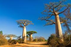 Baobabbäume, Madagaskar Stockbild