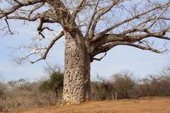 Baobabbaum. Stockbilder