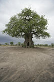 Baobabbaum, Adansonia digitata Stockbilder