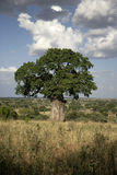 Baobabbaum, Adansonia digitata Lizenzfreies Stockfoto