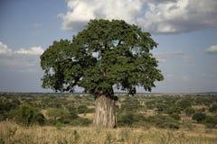 Baobabbaum, Adansonia digitata Lizenzfreies Stockbild