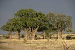 Baobabbaum, Adansonia digitata Lizenzfreie Stockfotografie