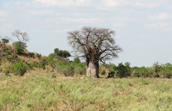 Baobabbaum in Botswana Stockfotos